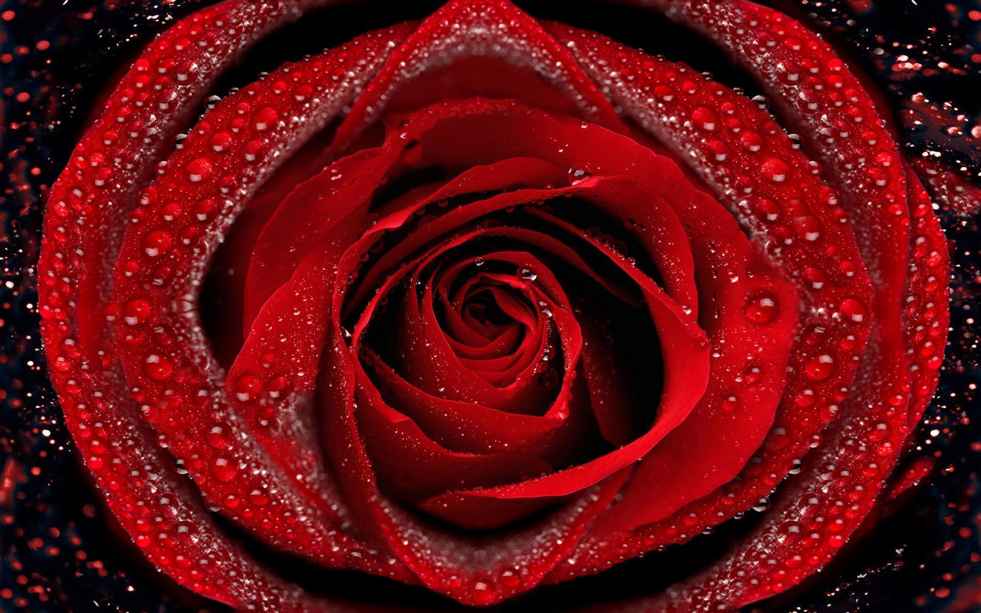 Обои капли, красная роза. Цветы foto 14