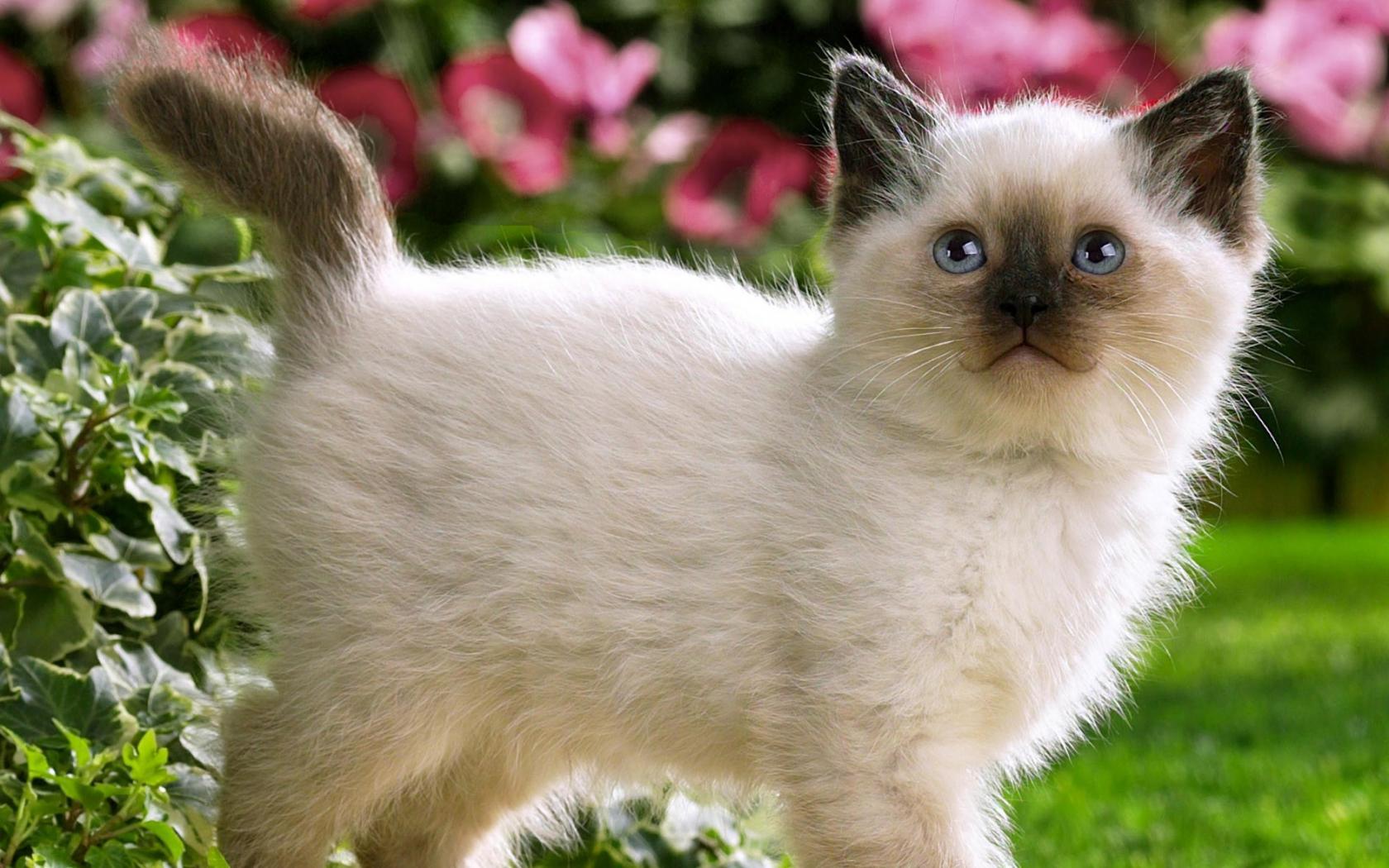 Красивый котенок обои для рабочего