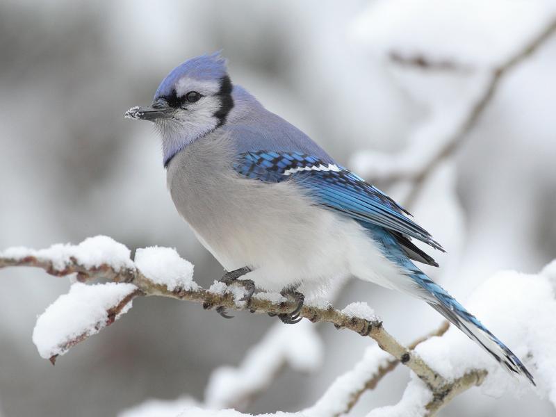 Зимняя птица с синим хохолком на ветке тополя 800x600