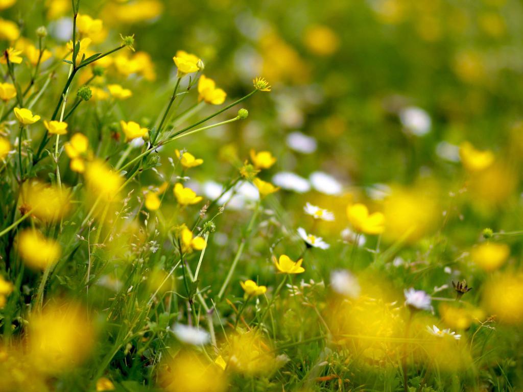 Цветок лютик картинка 4