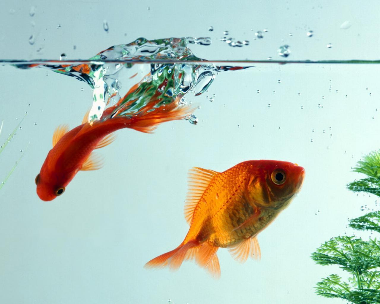 Рыбки золотые обои для рабочего стола
