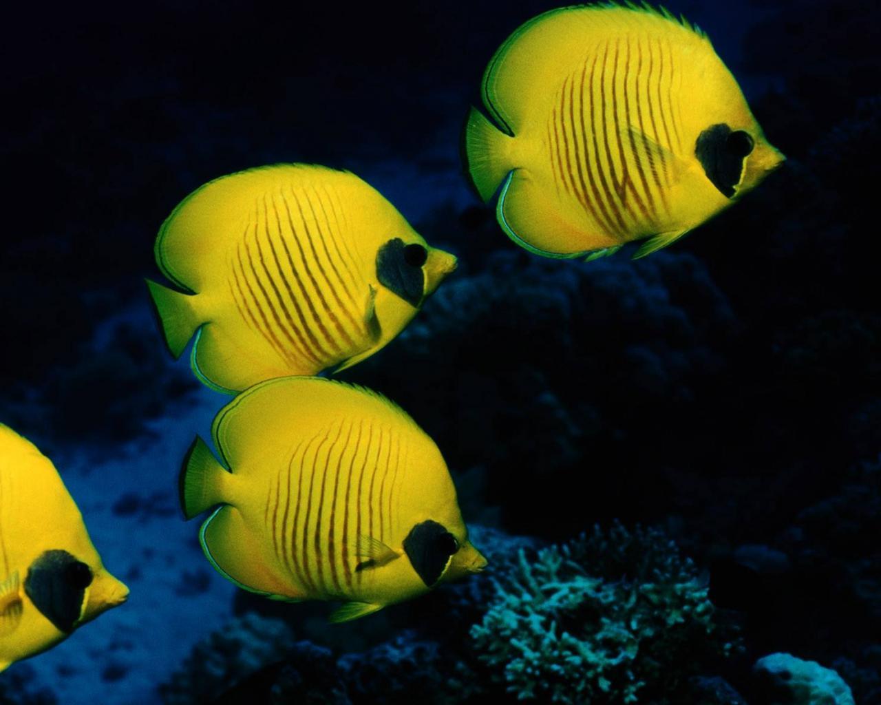 Жёлтые рыбы обои для рабочего стола