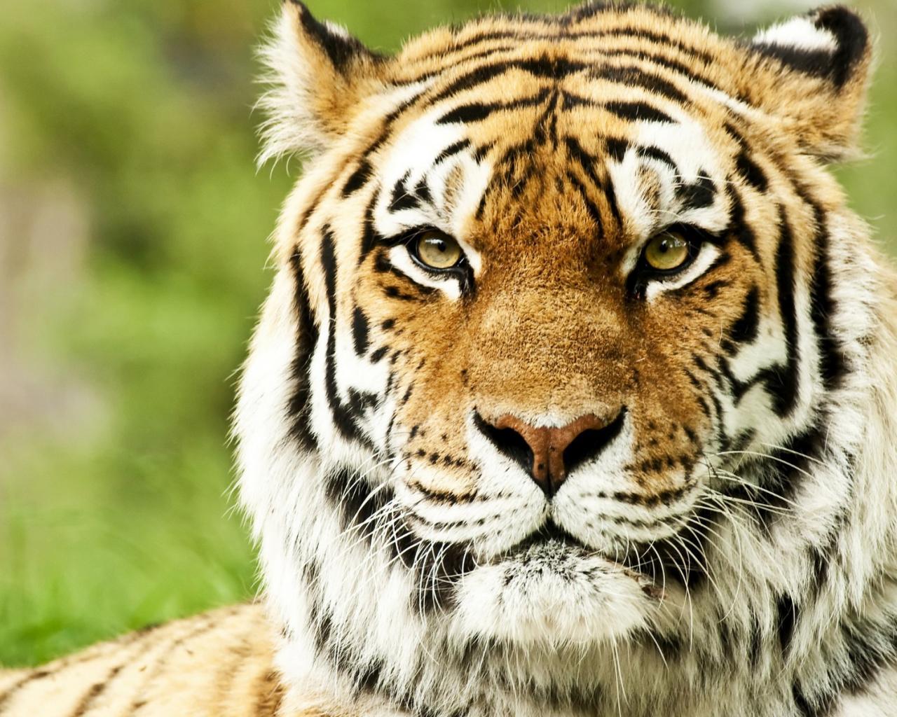 Графия тигра крупным планом обои для