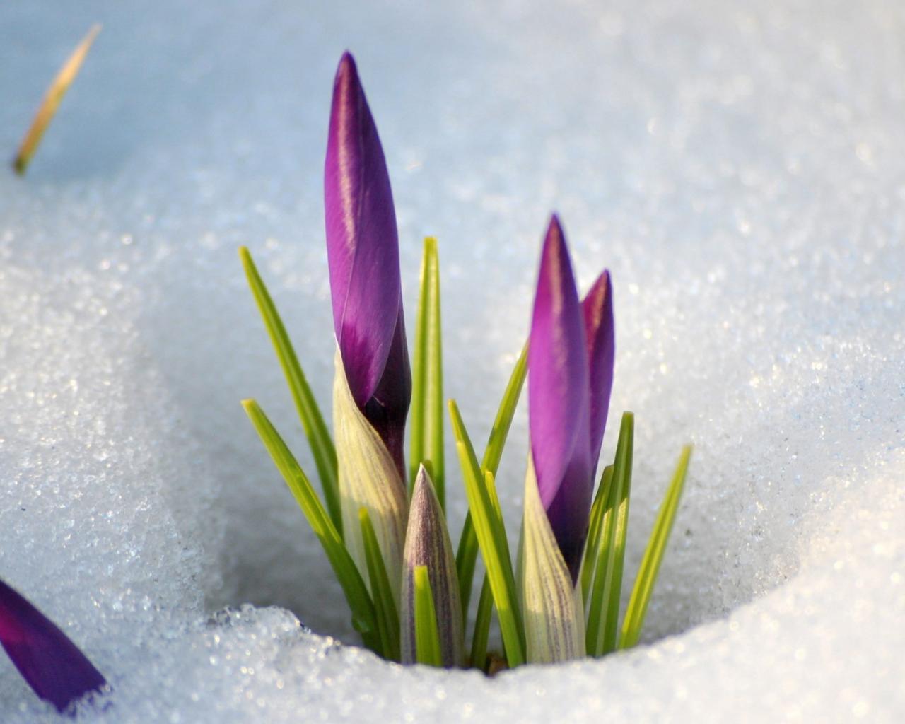 Цветы цветы в снегу приход весны 1280x1024