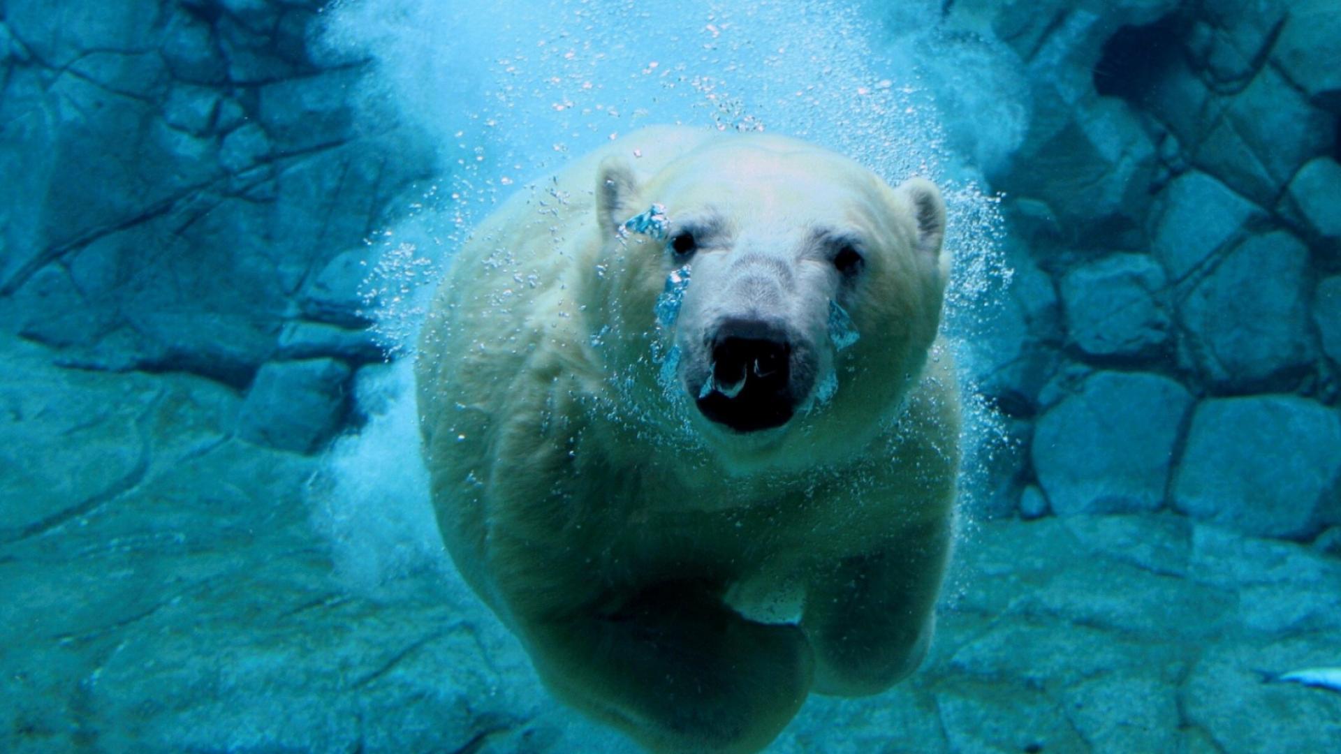 Плавающий полярный медведь обои для