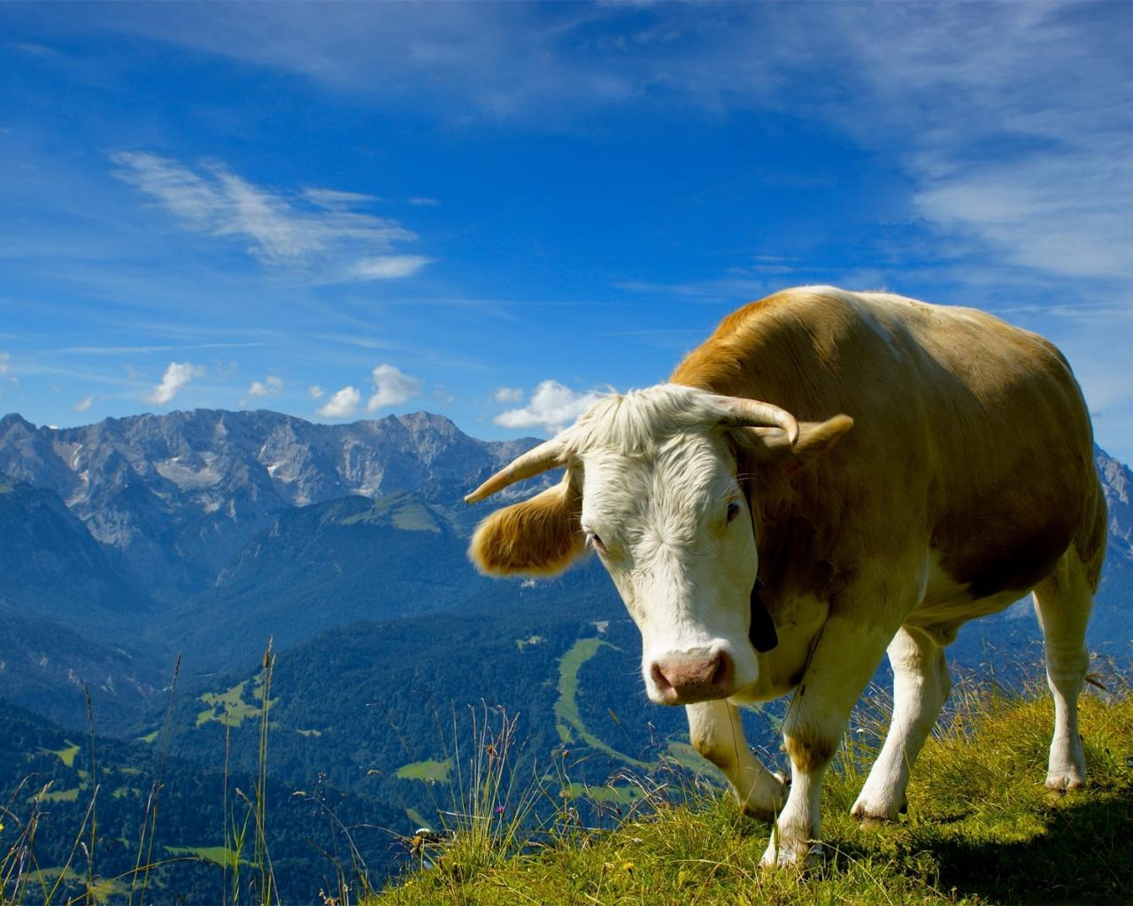 Корова на лугу обои для рабочего стола, картинки, фото ...