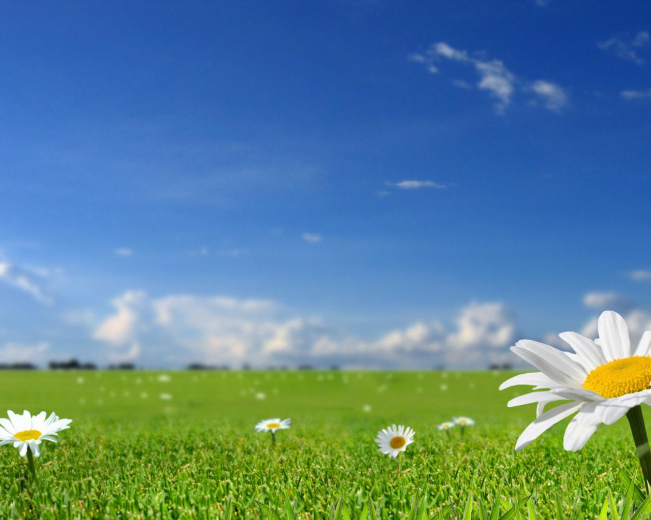 Ромашковое поле летняя тема обои для