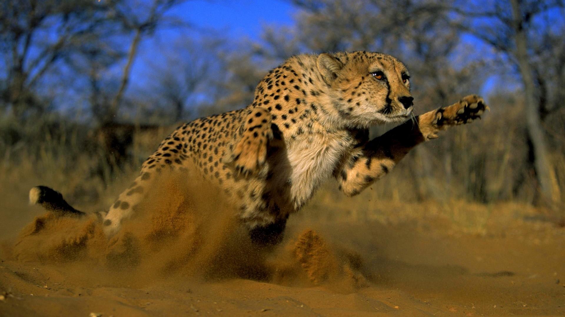 скачать гепарда фото