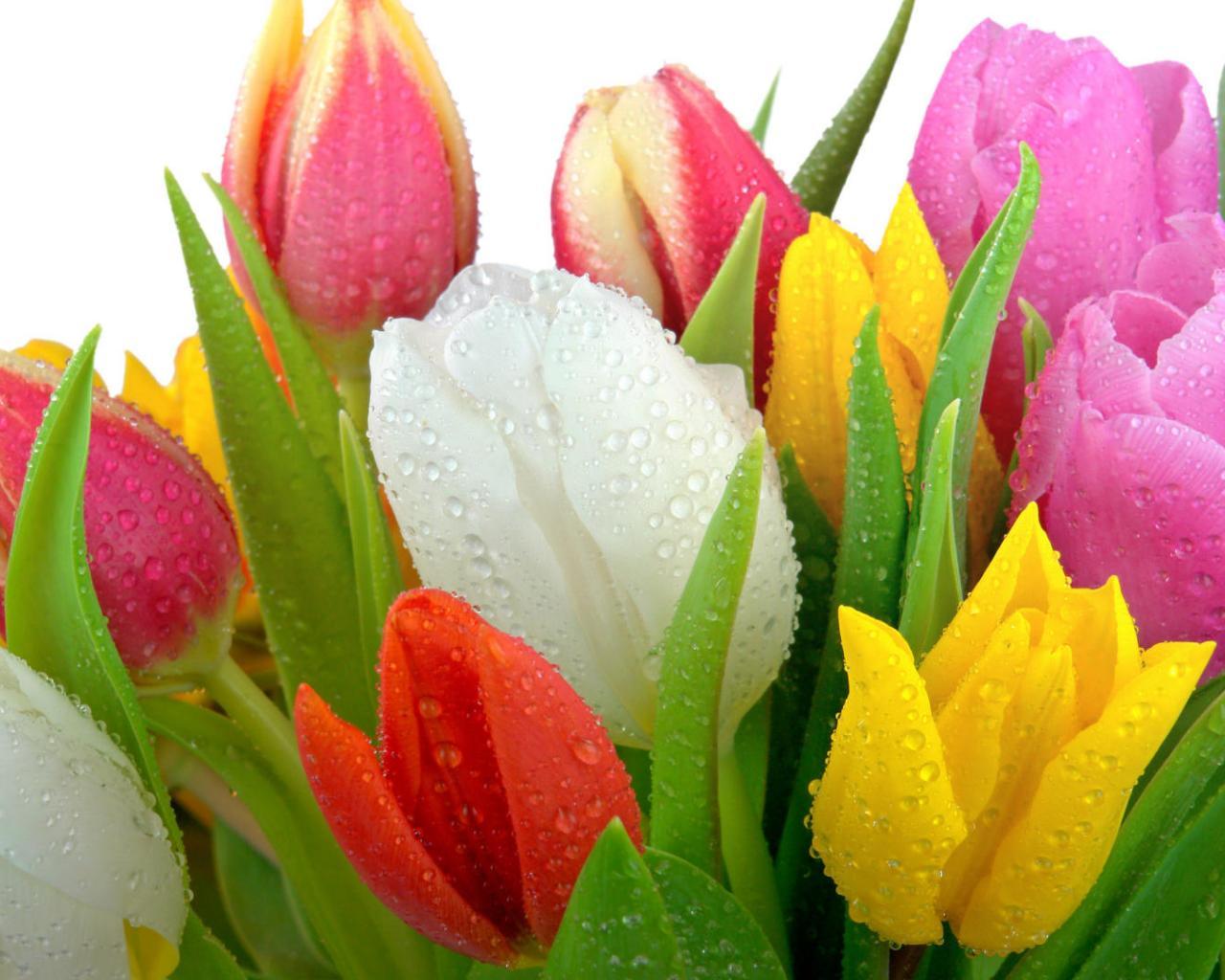 Свежесрезанные тюльпаны обои для