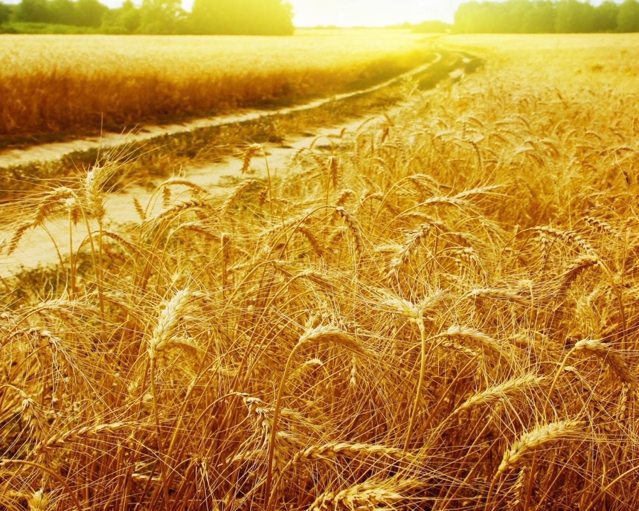 Украина может повысить урожайность пшеницы вдвое
