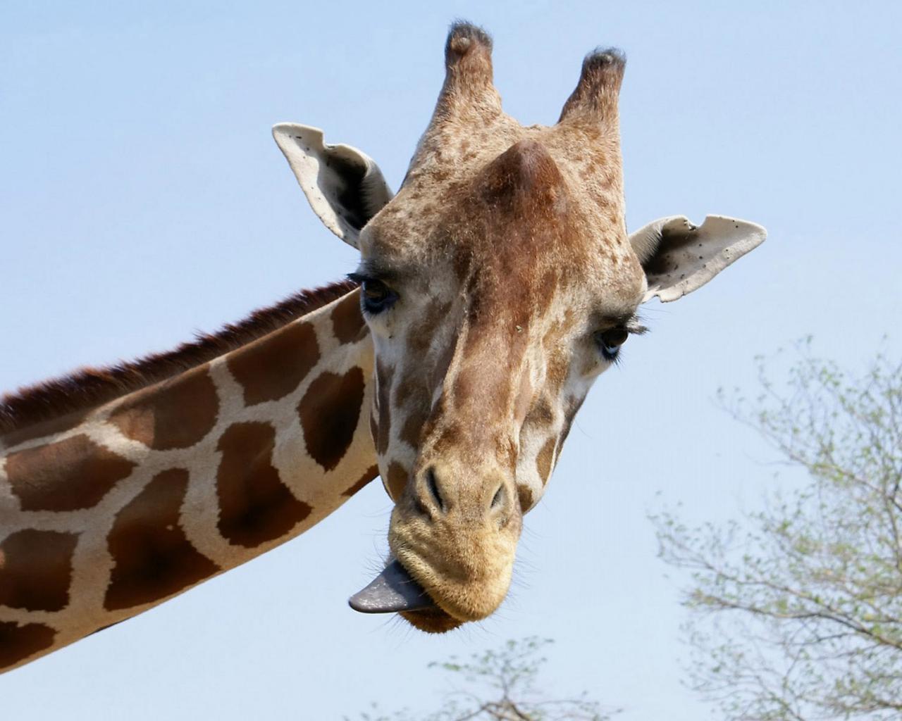 Обои животные животные жираф 1280x1024