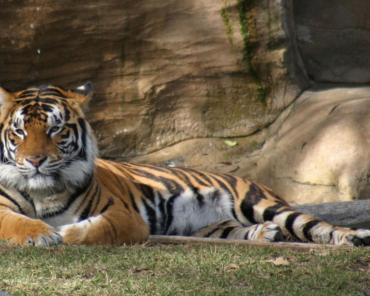 Животные природа животные тигры 1280x1024