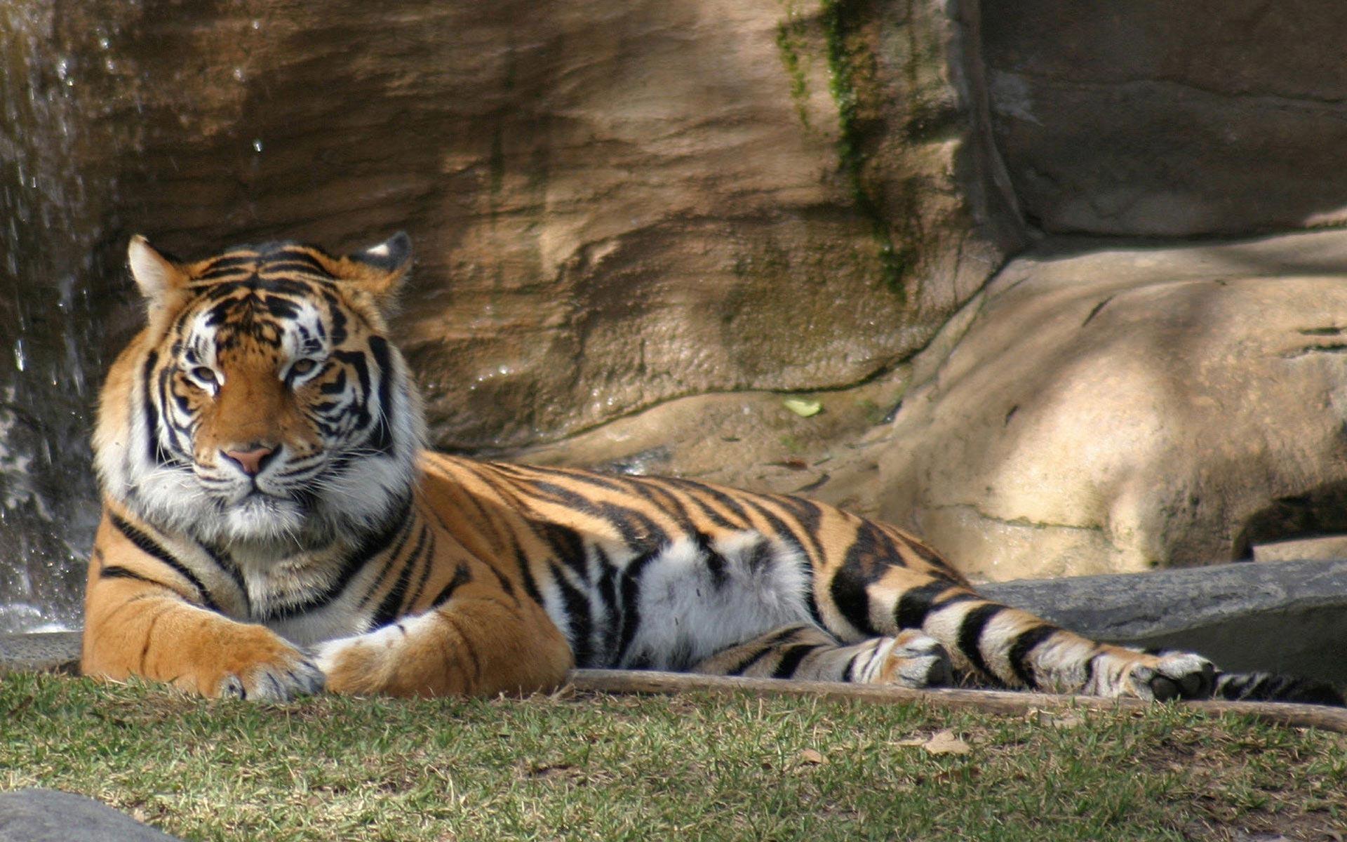 Животные природа животные тигры 1920x1200