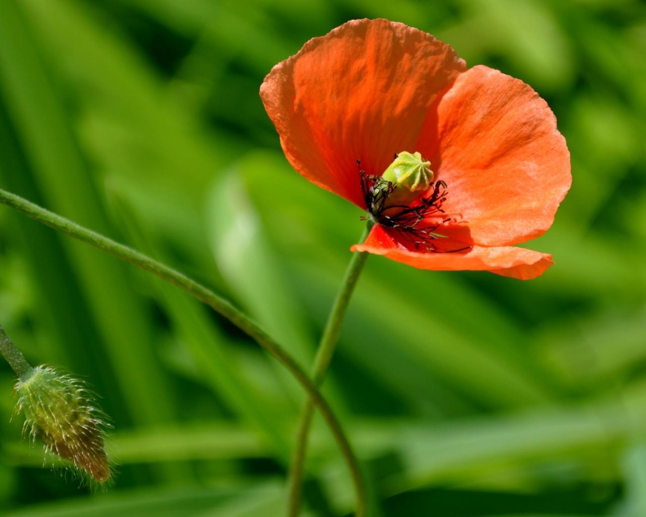 Цветок мак красками