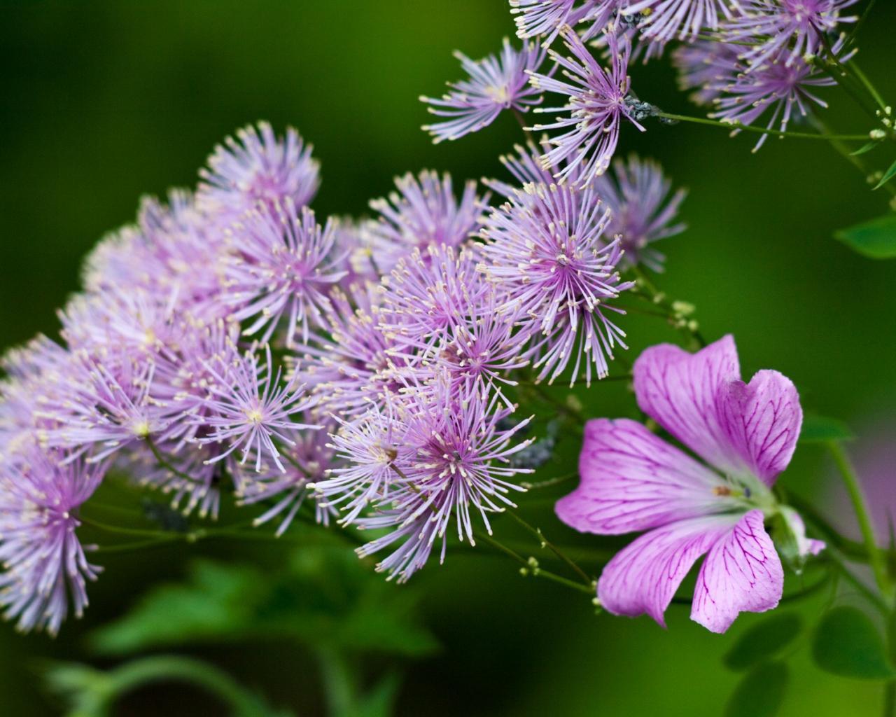 Полевые цветы фиолетового цвета 1280x1024