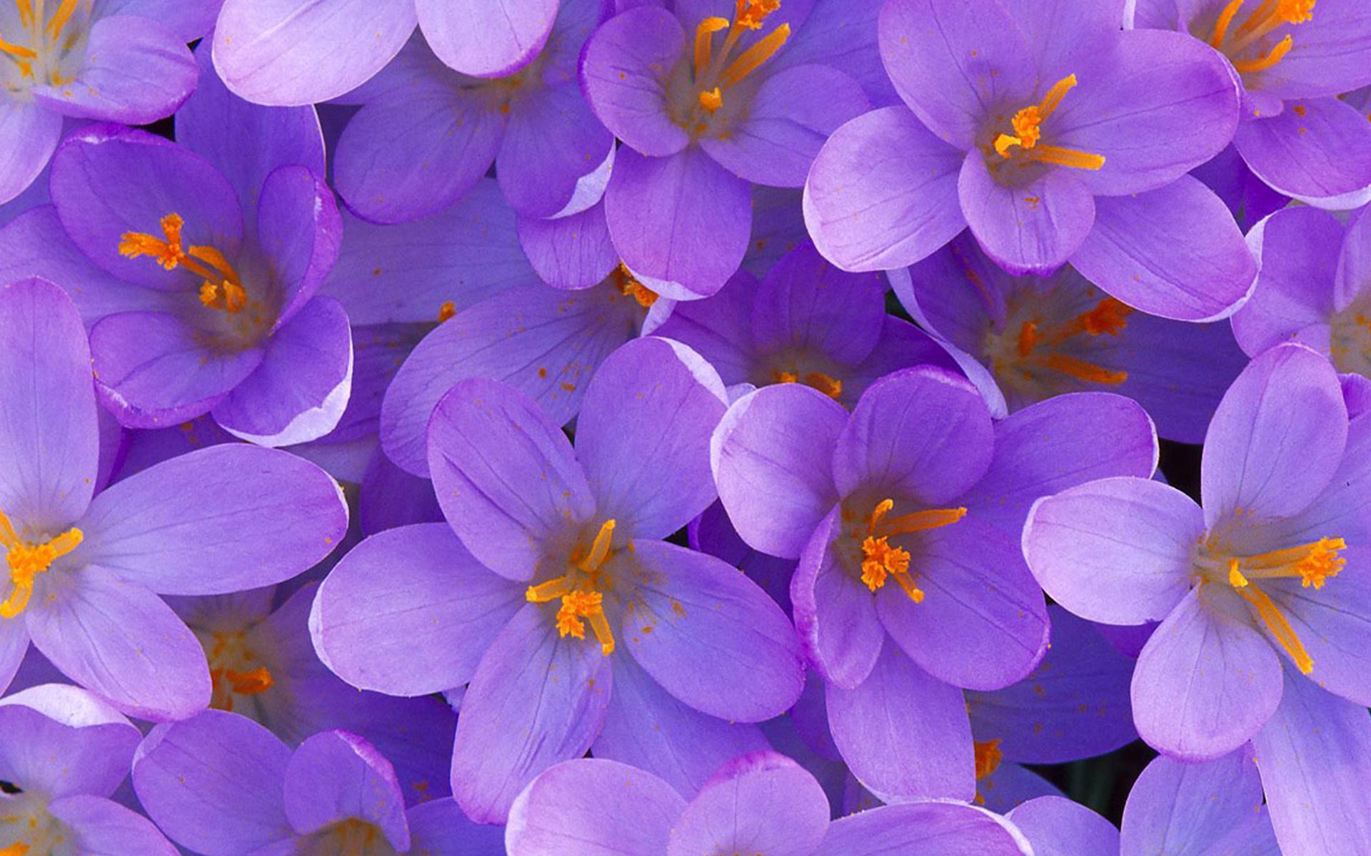Цветы цветы фиолетовые красивые 1920x1200