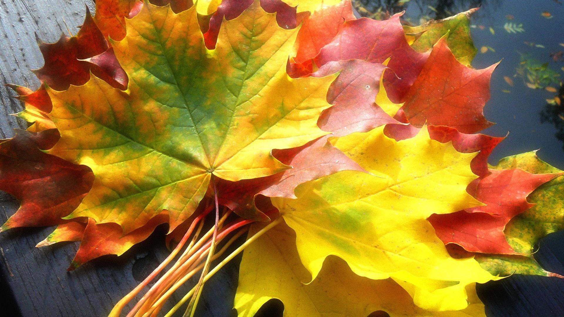 Букет из кленовых листьев 1920x1080