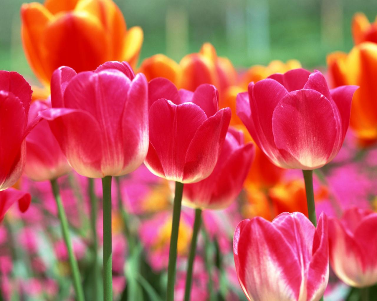 Красивые тюльпаны 1280x1024