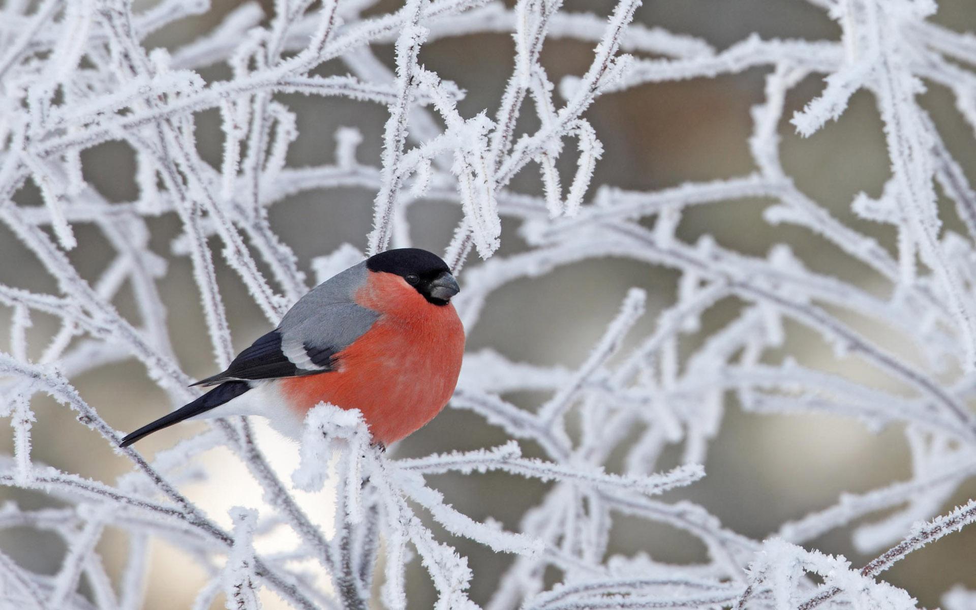 Птицы ветка зима снег снегирь обои