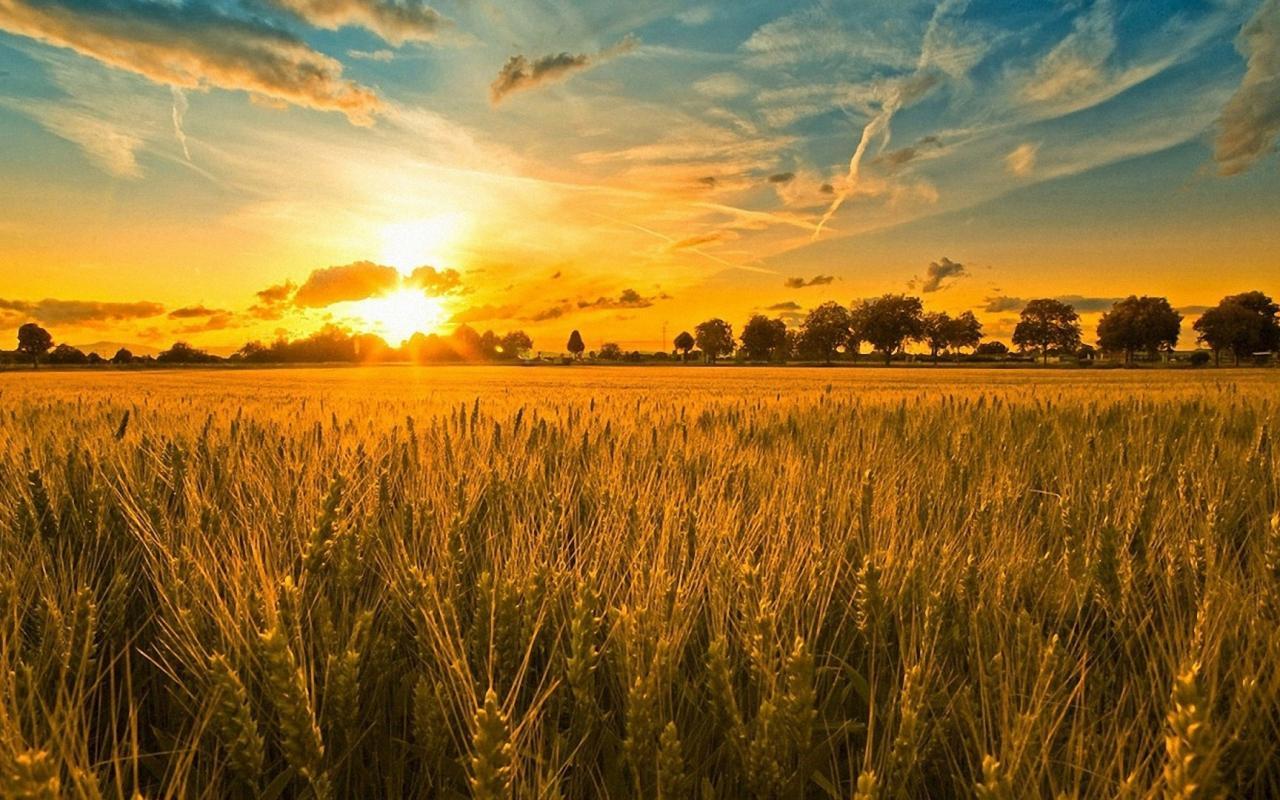 Пшеничное поле закат 1280x800