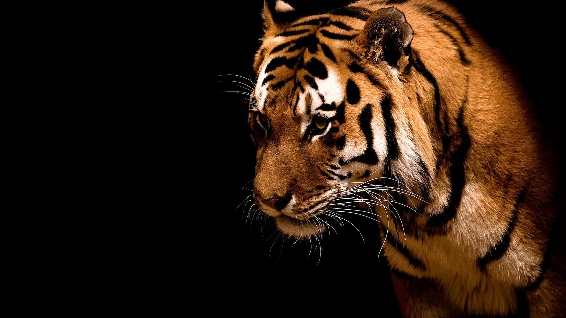 картинки тигра на рабочий стол