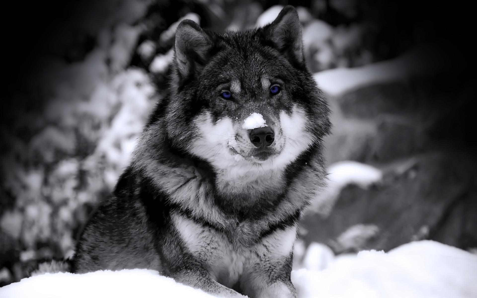 Волк взгляд ч б зверь хищник снег