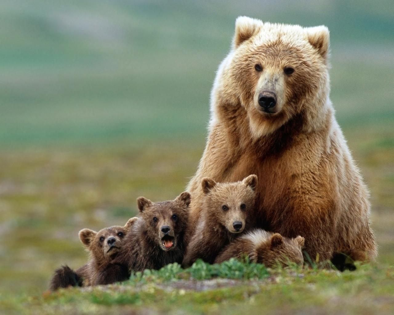 Медведи медведица медвежата г