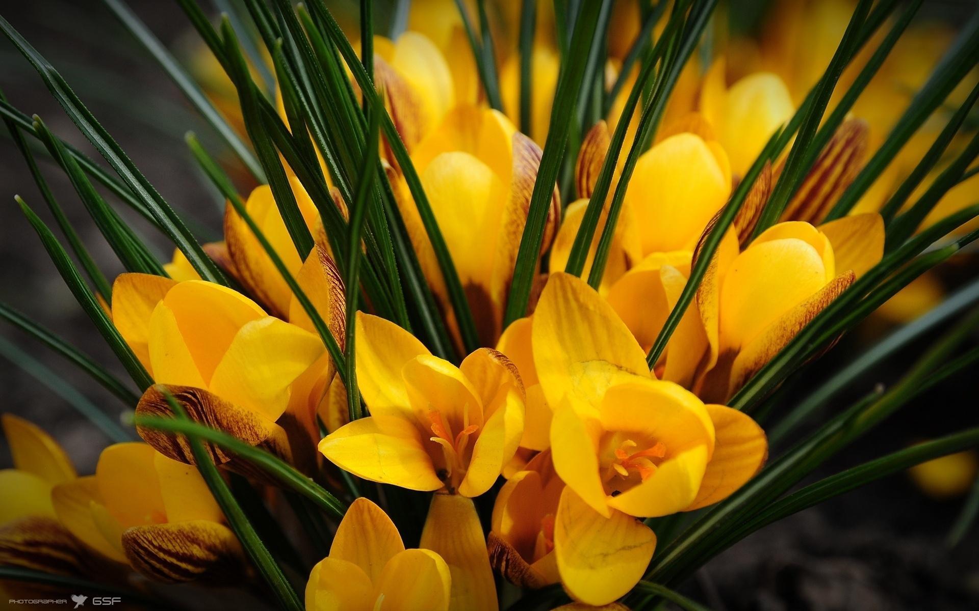 Обои цветы крокусы цветы желтые 1920x1200