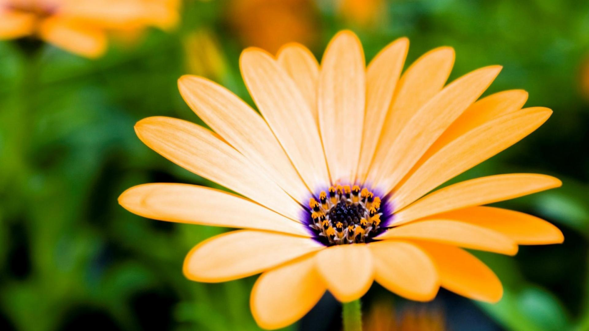 Orange Daisy 1920x1080