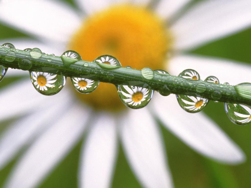 Daisies in the dewdrops, ромашка, цветы 1024x768