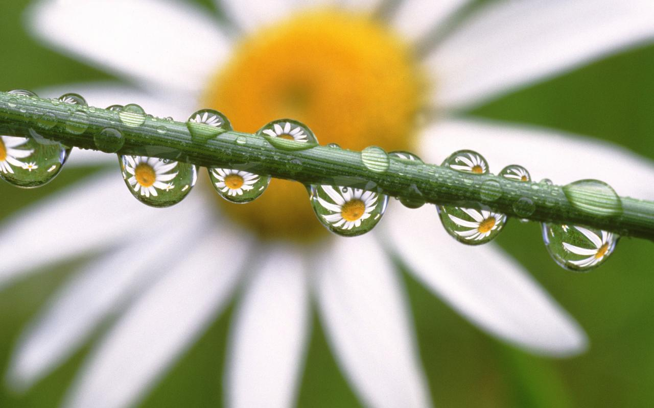 Daisies in the dewdrops, ромашка, цветы 1280x800