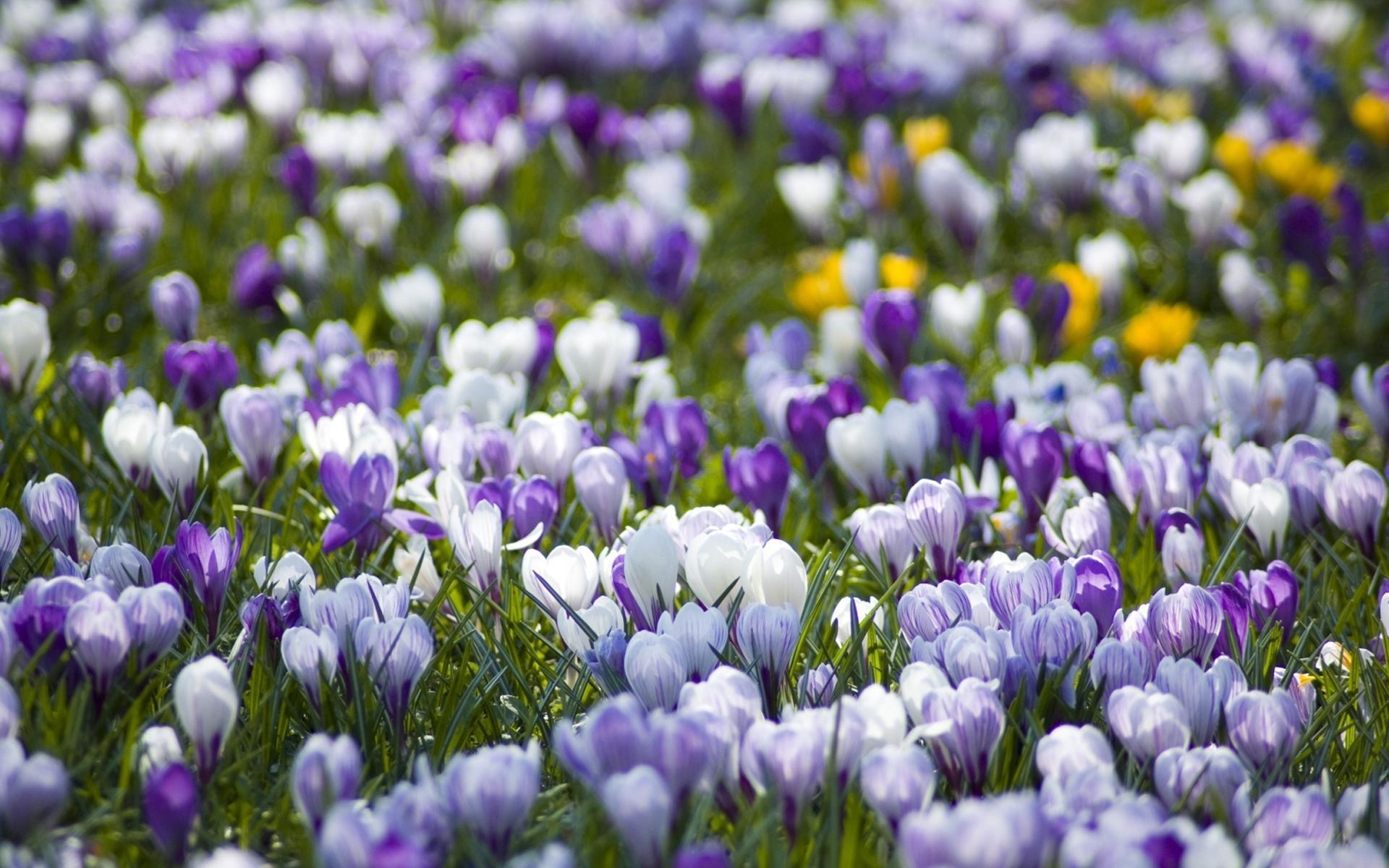 Белые сиреневые весна природа 1920x1200