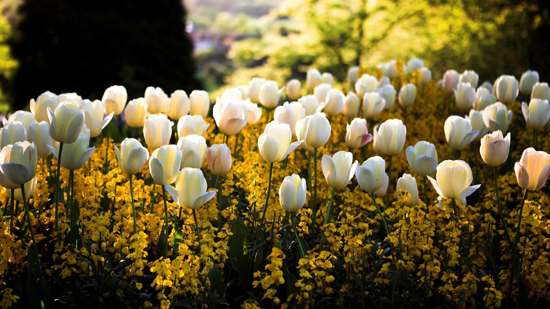 Сквер клумба цветы белые желтые