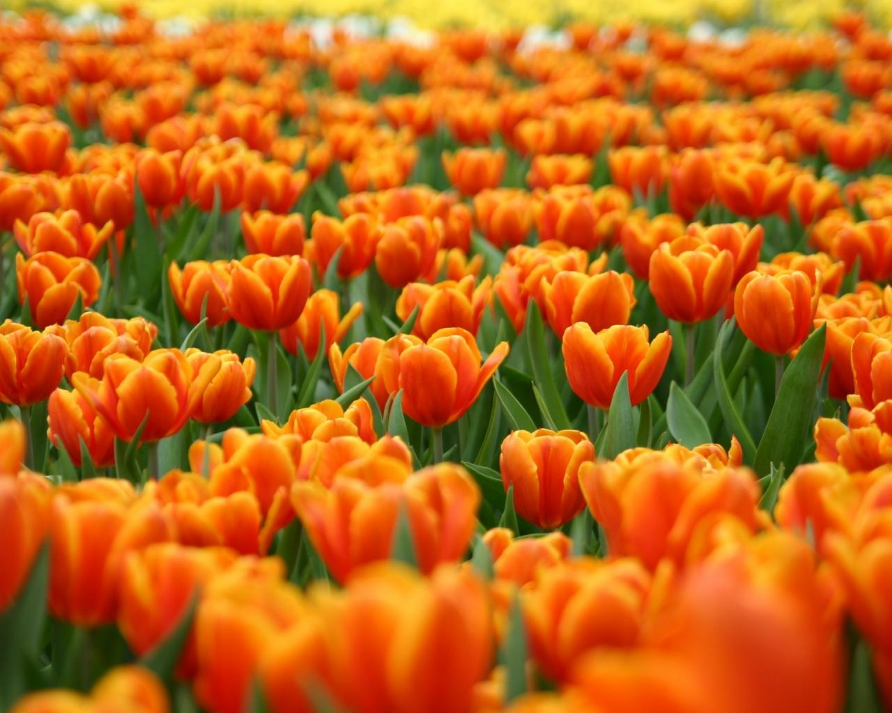 Цветы поле тюльпанов цветы природа